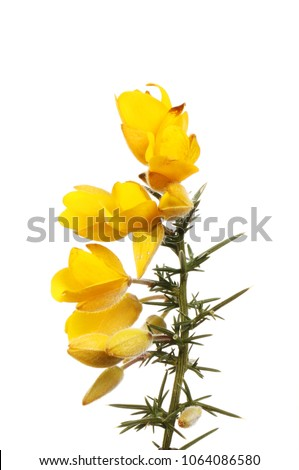 Gorse flowers and prickly foliage isolated against white #1064086580