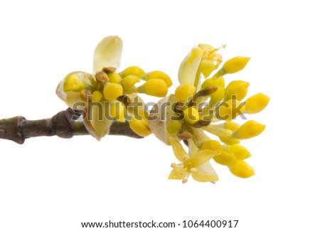 dogwood flowers isolated on white background #1064400917