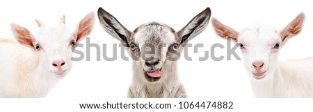 Three funny goat, closeup, isolated on a white background #1064474882