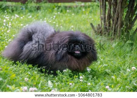 cute black puppy funny pekingese dog on grass #1064801783