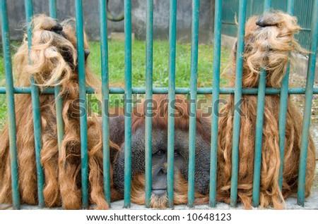 Orang-utan sitting behind the steel bars #10648123