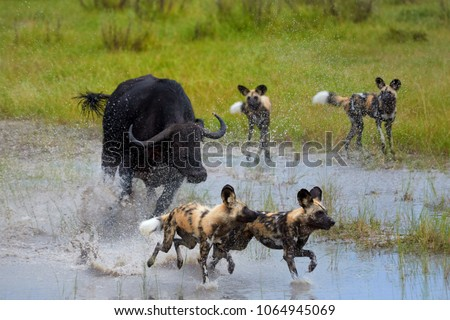 African Wild Dog, Lycaon pictus, pack attacking buffalo calf in water, defended by mother. African wildlife photography. Self drive safari, Moremi, Okavango delta, Botswana.