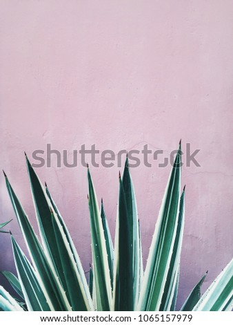 Colorful agave plant at pink wall interior background