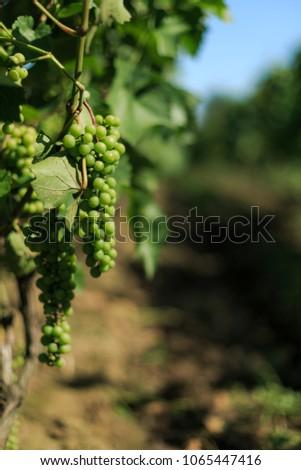 Grapes on vine in vineyard background #1065447416