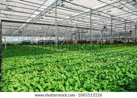 Organic hydroponic ornamental plants cultivation nursery farm. Large modern hothouse or greenhouse #1065513116