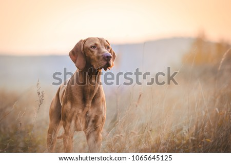 Hungarian hound pointer vizsla dog in autumn time in the field #1065645125