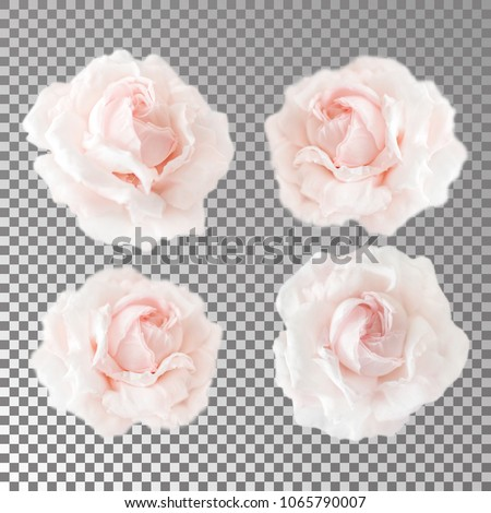Collection or set of beautiful cream pink roses isolated on transparent background. Flowering open heads of roses without leaves. Close-up rose petals.