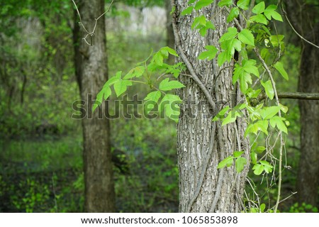 A tree is shown with a Poison Ivy vine that has leaves of three emanating from it. The fruiting body of the plant can also be seen in the detail. Latin name for this plant is Toxicodendron radicans.