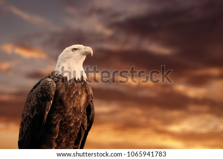 QUEBEC, QC - CANADA September 2012 : Portrait of a proud american bald eagle in front of a blurry cloudy sunset sky. The bald eagle is a bird of prey found in North America.  #1065941783