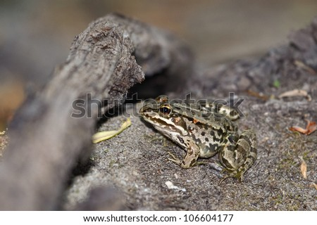 Young green frog. Edible green frog (Rana esculenta), is a medium-thick-set tailless animals, up to 12 cm in length, but usually smaller. #106604177