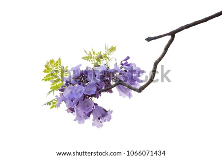 Close up of beautiful purple jacaranda trees, isolated on white background, a species with an inflorescence at the tip of the purple flower, is native to South America. clipping path #1066071434