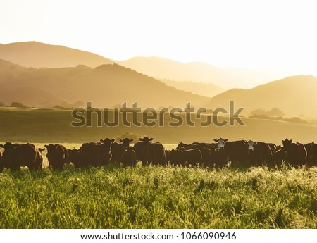 large livestock of cows in a long grass meadow field during sunset against layers of different height mountains in the background. Summertime. #1066090946