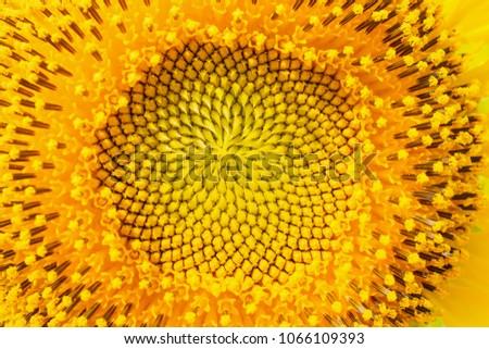 close up sunflower  #1066109393