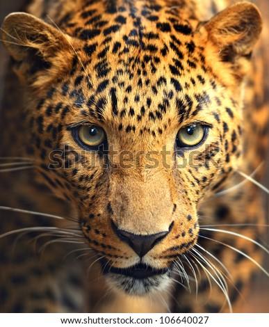 Leopard portrait #106640027