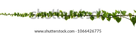 vine plant climbing isolated on white background. Clipping path #1066426775