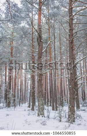Winter in the Pine Forest. Nature in the vicinity of Pruzhany, Brest region, Belarus. #1066550855