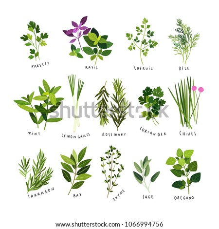 Clip art illustrations of herbs and spices such as parsley, basil, chervil, dill, mint, lemongrass, rosemary, coriander, chives, tarragon, bay leaves, thyme, sage and oregano #1066994756