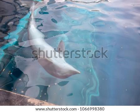 dolphin in genova aquarium , italy #1066998380