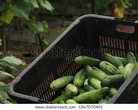 Bunch of fresh cucumbers in the basket. Selective focus. #1067070401