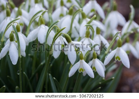 Lots of white snowdrops in the garden with drops on the petals in the sunny morning #1067202125
