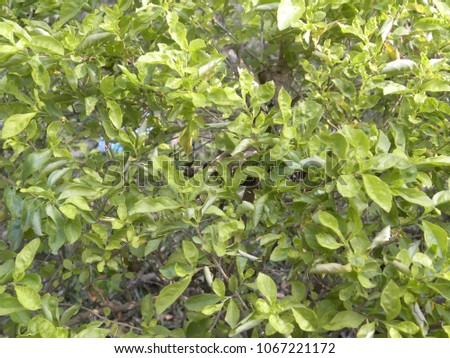 Light green and yellow color leaves of Eunonymus plant #1067221172