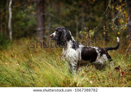 Beautiful english dog springer spaniel standing in the grass in the forest #1067388782
