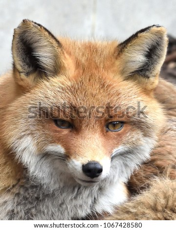 Closeup of the Red fox (Vulpes vulpes) #1067428580