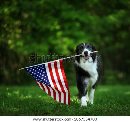 Happy border collie carrying USA flag #1067554700