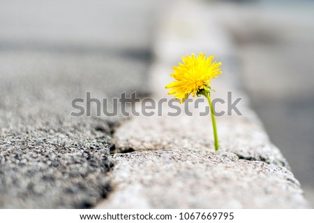 The plant, the yellow dandelion grows through the crack in the concrete, asphalt road. Concept: it grows through asphalt, cement, struggle for life, growth, movement, thirst for life, joy, love #1067669795