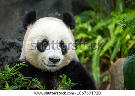 Head and shoulders of Panda sitting in enclosure looking to front and appears happy #1067691920