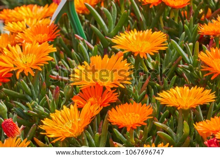 lampranthus aureus flower in bloom #1067696747