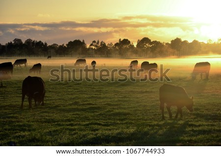 Rural landscape with herd of cows in morning fog at sunrise in Morpeth, NSW, Australia #1067744933