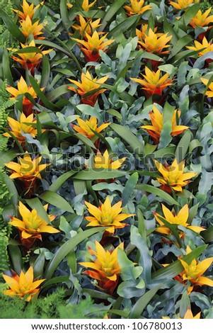 Yellow  flowers guzmania beautiful green leaves #106780013