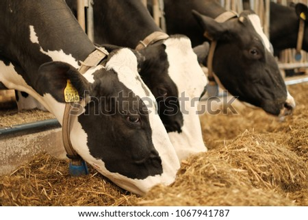 Dairy cow. Black and white cows eating lucerne hay on dutch farm indoor #1067941787