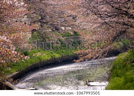 Cherry blossoms and flower rafts along the river of Funabashi City, Chiba Prefecture, Japan #1067993501
