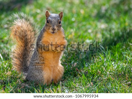 Fox Squirrel in a Suburban Yard with a Funny and Confused Look #1067995934