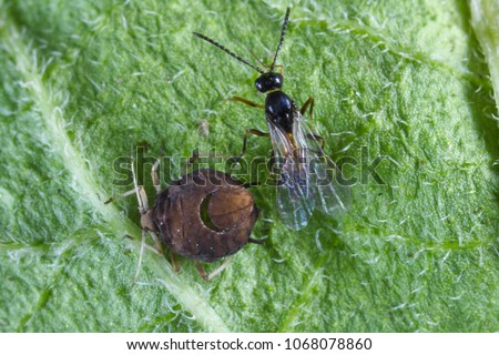The black bean aphid (Aphis fabae) parasitized by Diaeretiella rapae (Hymenoptera: Braconidae). It is a cosmopolitan parasitoid of many species of aphids. #1068078860