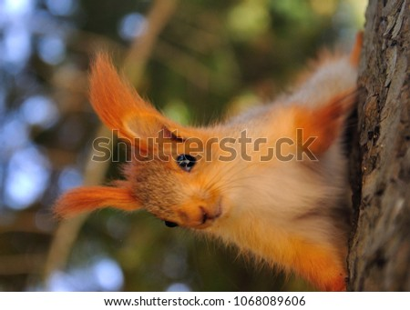 young red squirrel on tree close up foto #1068089606