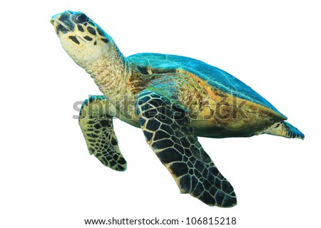 Hawksbill Sea Turtle isolated on white background #106815218