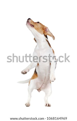 Beagle dog on hind legs looking up #1068164969