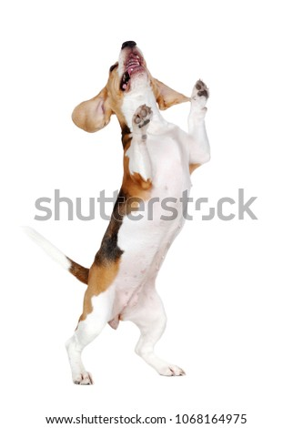 Happy dancing on hind legs beagle dog front view picture  #1068164975