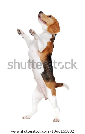 Side view picture of a beagle dog standing on hind legs  on white background #1068165032