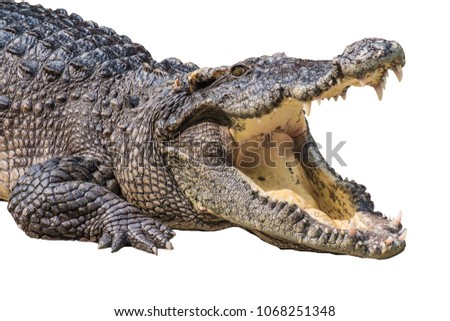 The crocodile is opening its mouth at the crocodile farm in Thailand Zoo. Amphibian fierce eyes In water White backdrop #1068251348