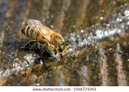 Macro photo bee that drinks water in springtime. Insects and water. #1068721043