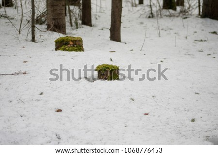 green moss on a stump in white snow in the forest #1068776453