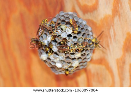 """Asian giant hornet or Japanese giant hornet (Vespa mandarinia japonica). In japanese it is known as the oosuzumebachi literally """"giant sparrow bee""""."""
