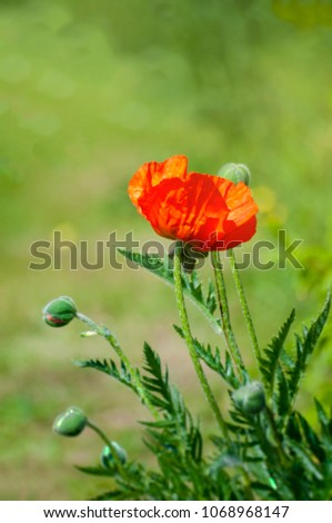 Beautiful poppies in spring with beautiful bokeh #1068968147