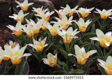 yellow white tulips close up field  #1068973355