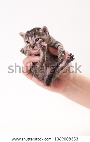 Striped little kitten in the human's hand #1069008353