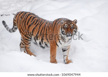 One young female Amur (Siberian) tiger standing in fresh white snow sunny winter day and looking at camera, full length high angle side view #1069047944